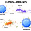 Stock Vector: Humoral immunity. Lymphocyte, antibody and antigen