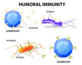 Humoral immunity. Lymphocyte, antibody and antigen — Stock Vector
