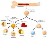 Hematopoetická kmenová buňka — Stock vektor