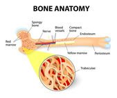 Bone anatomy — Stock Vector