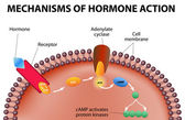 Mechanisms of hormone action — Stock Vector
