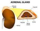 Adrenal gland — Stock Vector
