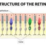 Постер, плакат: Retina structure