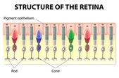 Retina structure — Stock Vector
