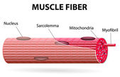 The skeletal muscle fiber — Stock Vector
