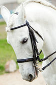 White andalusian horse — Stock Photo