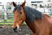 Häst i gård — Stockfoto