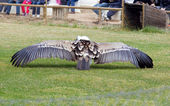Vulture wings  — Stock Photo