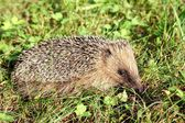 European Hedgehog — Stock Photo