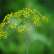 Stock Photo: Fennel. Fennel inflorescence, umbrellas.