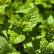 Fresh garden mint — Stock Photo