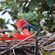 Bright colored scarlet ibis in its nest — Stock Photo