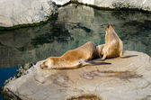 Two sea lions on a rock by the water — Stock Photo