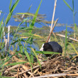 Eurasian coot (Fulica atra) — Stock Photo