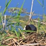 Eurasian coot (Fulica atra) — Stock Photo