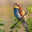 European bee eater (Merops Apiaster) — Stock Photo