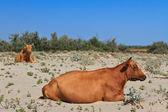 Krowy na plaży — Zdjęcie stockowe