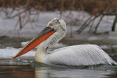 Dalmatian Pelican (Pelecanus crispus) in winter — Stock Photo