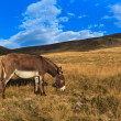 Stock Photo: Donkey grazing