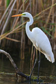 Great white egret — Photo