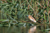 Squacco Heron (Ardeola ralloides) — Stock Photo