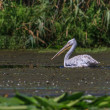 Dalmatian Pelican (Pelecanus crispus) — Stock Photo