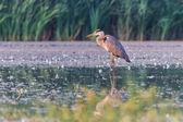Grey heron — Stock Photo