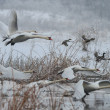 Whooper Swan (Cygnus cygnus) in winter — Stock Photo