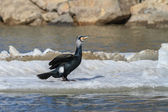 Cormorant (phalacrocorax carbo ) — Stockfoto