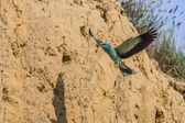 European roller (coracias garrulus) — Foto de Stock