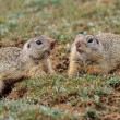 Prairie dog (cynomys ludovicianus) - Stock Photo