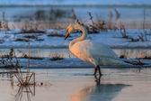 Whooper Swan (Cygnus cygnus) on lake — Stock Photo