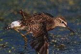 Zwarte tailed godwit — Stockfoto