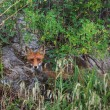 European red fox  — Foto Stock