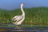 Whooper Swan (Cygnus cygnus) on lake — Stock Photo