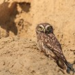 Burrowing Owl (Athene cunicularia)  — Stock Photo