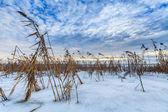 Reed på vintern — Stockfoto