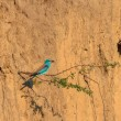 European roller (coracias garrulus) — Stock Photo