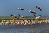 White pelicans (pelecanus onocrotalus) — Stock Photo