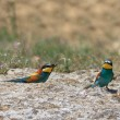 European bee eater — Stock Photo