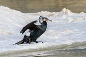 Cormorant (phalacrocorax carbo) — Stock Photo