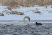 Whooper Swan and Eurasian coot in winter — Stock Photo