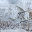 Whooper Swan (Cygnus cygnus) in winter — Stock Photo