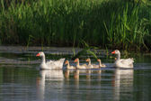 Domestic geese on the lake — Stock Photo