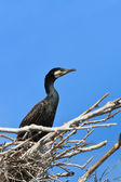Cormorant (phalacrocorax carbo ) on nest — Foto de Stock