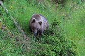Wild bear — Stock Photo
