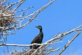 Cormorant (phalacrocorax carbo ) on nest — Zdjęcie stockowe
