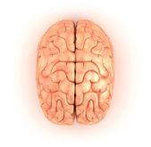 Human brain , top view — Stock Photo