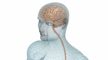 Human brain and body wire model — Stock Video