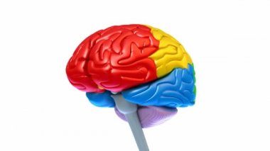 Brain lobes in different colors isolated on white — Stock Video